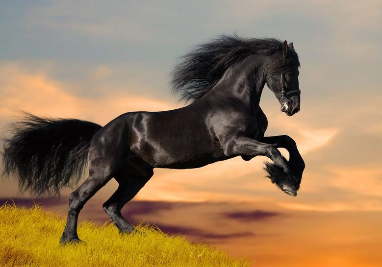 12763862 - black friesian horse in sunset